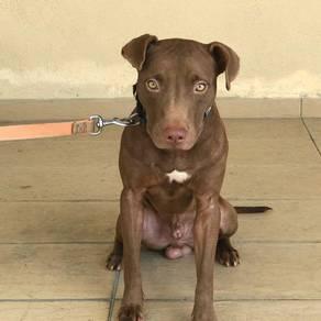 American Pitbull Terrier APBT