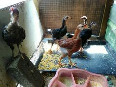 Anak ayam kampung ori