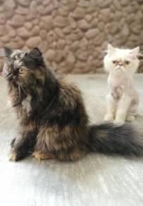 Kucing DLH sepasang