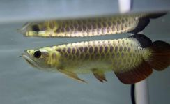 Arowana Blue base golden head crossback 7 inch