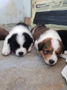 Pure Breed Border Collies Puppies