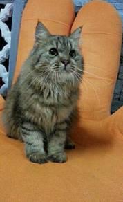 Kucing jantan dewasa utk dijual