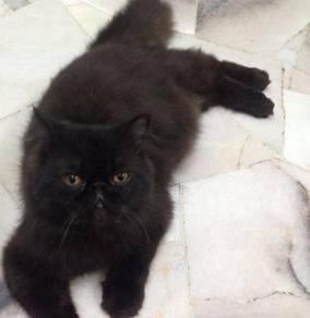 Kucing Persian Baka Flat Face High Nose Jantan