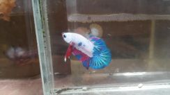 Fancy betta hmpk