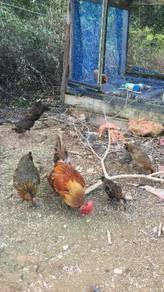 Baka Ayam Hutan
