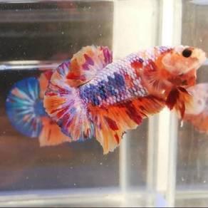 Ikan laga betta fish fancy flyking