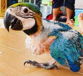 Burung Baby Blue And Gold Macaw Parrot Bird