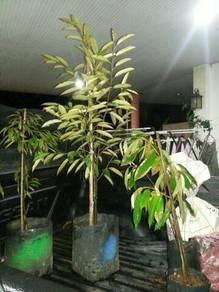Pokok durian
