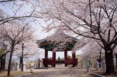 5D4N South Korea Cherry Blossom | AMI Travel