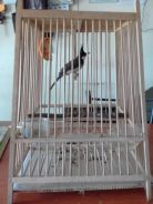 Burung peliharaan