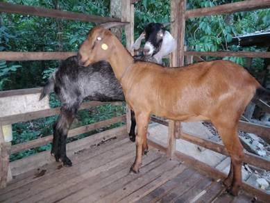 Ibu kambing bara 2ekor