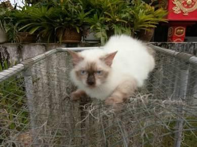 Kitten Himalaya