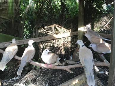 Burung terkukur Jawa
