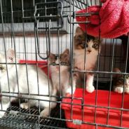 Kucing persian dan mix short hair