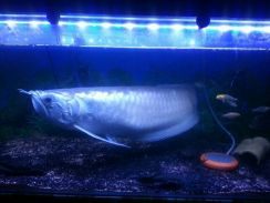 Ikan kelisa