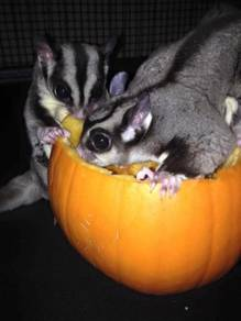 2 Sugar gliders(male)(female)
