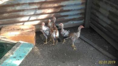Anak Ayam Ratu Kaidang dan LHK