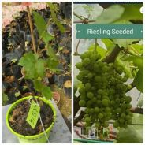 Anak pokok anggur riesling