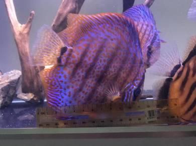 Discus aquarium fish, big Size