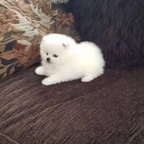 Snow white pomeranian puppies