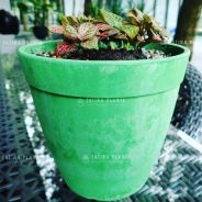 Fittonia (Nerve Plant).