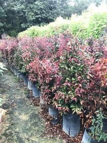 Eugenia (Dark Red Leaves)
