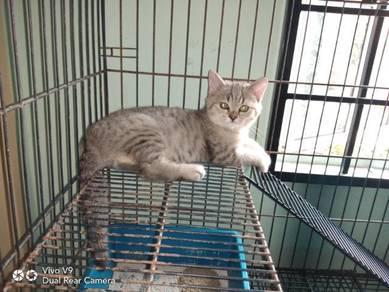 Bsh kitten female