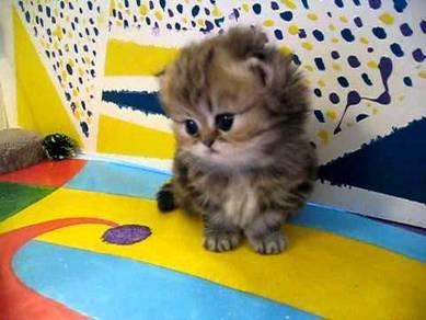 Persian kitten comel gebu