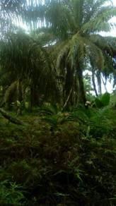 Kebun sawit di smpg rngam