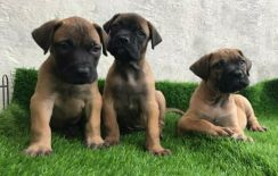Boerboel Puppy