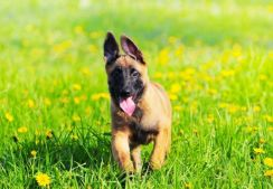 Champion Bloodline Big Bone Belgium Shepherd Puppy