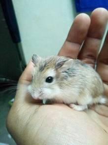 Hamster roborovski
