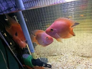 Parrot fish(fungshui fish)