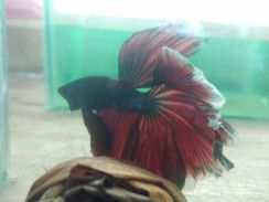 Ikan laga betta - halfmoon red & blue