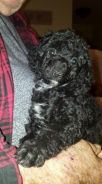 Attractive Male and Female Poodle Puppies