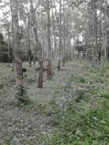 Tanah kebun getah,Pokok Sena