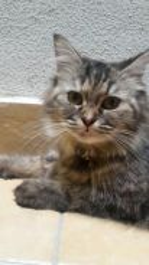 MIX BREED Feline