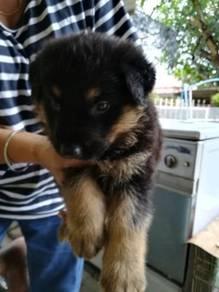 Mix big bone dog - GSD & Rottweiler