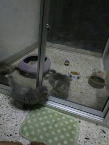 Sangkar kucing aquarium kaca