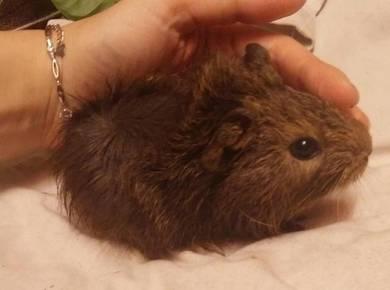 Tikus Belanda Guinea Pig Marmut- Pakej Lengkap