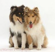 1 year old Male Rough Collie