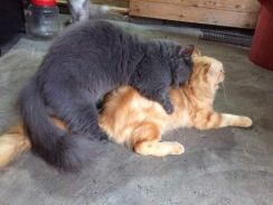 American curl ibu dan anak shaja.bapak muchkin.