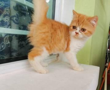 Exotic short hair kitten