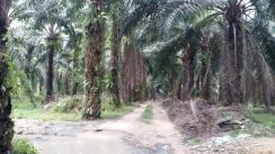 Road side Flat Palm Oil Land, Tmn Selasih near to Giant & Tesco Kulim
