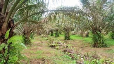 Freehold Oil Palm Plantation At Teluk Intan