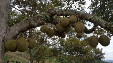 Hight Hill Durian Orchard Agriculture Land, Sang Lee , Bentong,Pahang