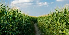 100 acres of land wanted for planting corn