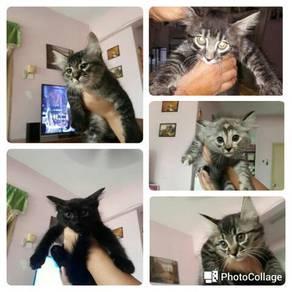 Anak kucing untuk dijual