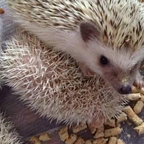 Hedgehog murahh