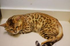 Male bengal cat for sale